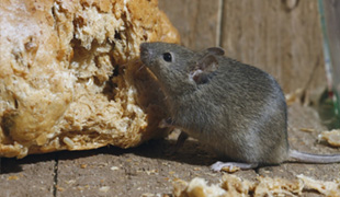 A rodent eating bread